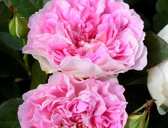 Bornéo Odore rosier buisson