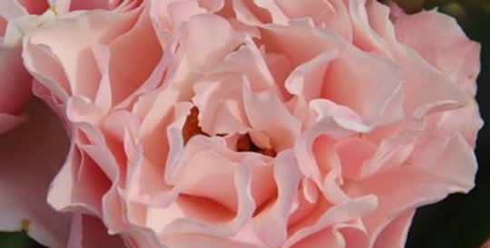 Porcelaine d'Orient rosier buisson