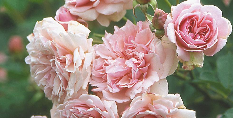 Félicia rosier ancien