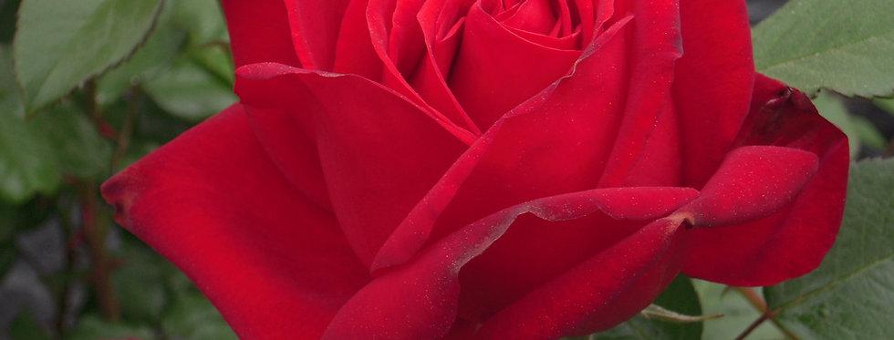 Ingrid Bergman rosier tige