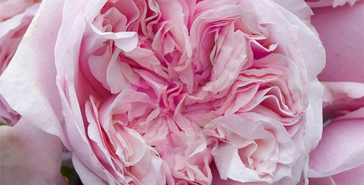 Chateau de Barbeyrolles rosier buisson