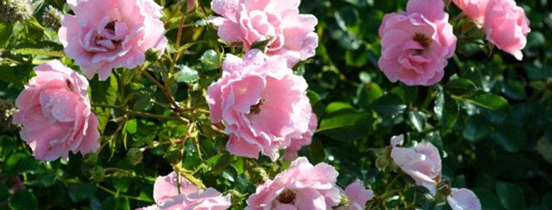 Vent d'été rosier pleureur