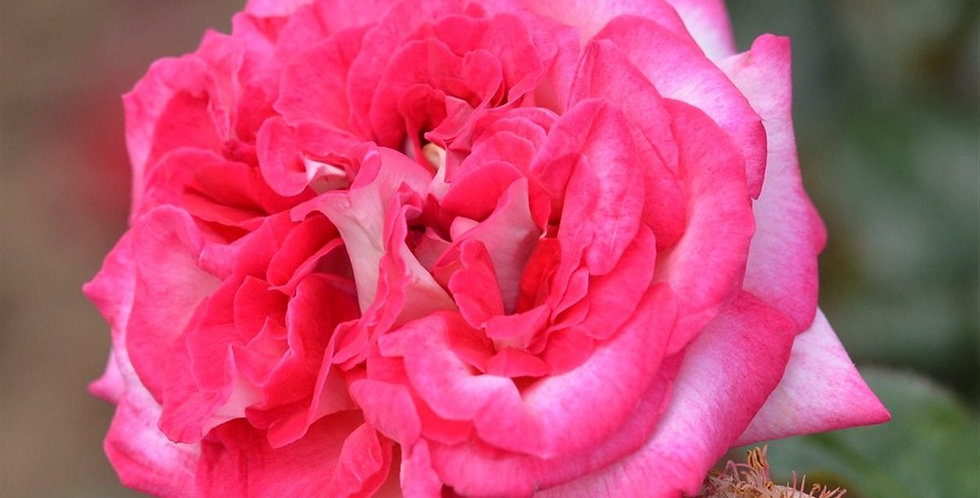 Pascal Sevran rosier tige