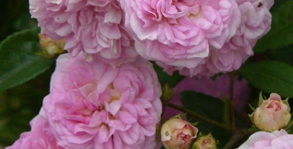 Pink Ghislaine de Féligonde rosier grimpant