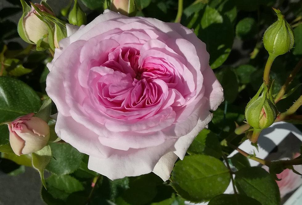 Pan Blanc Bleu rosier buisson