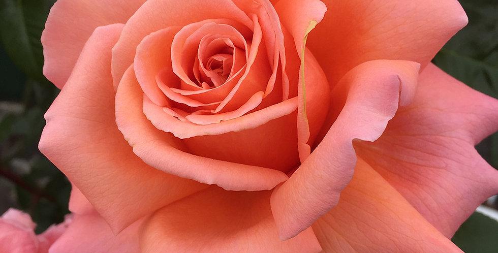 Parfum de Loire rosier buisson