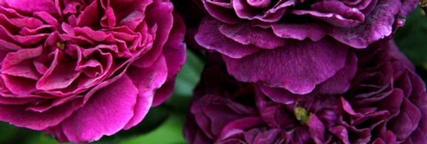 The Prince rosier anglais