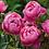 Thumbnail: Royal Jubilé rosier anglais