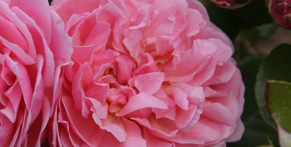 Rosemantic Pink rosier buisson