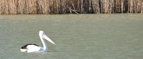 Pelican On the Murray