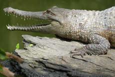 Crocodile Sunbaking