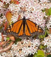 Butterfly on Winter Blooms