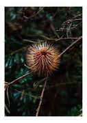Fleurieu Banksia