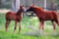 Two_Foals.jpg
