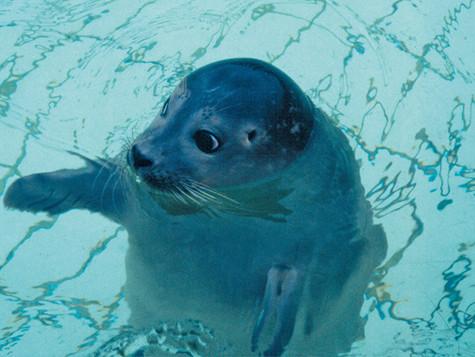 Blinder Seehund gefunden