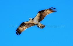 osprey1thumb.jpg