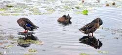 duckdsthuimb.jpg
