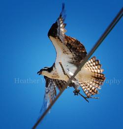 osprey3thumb.jpg