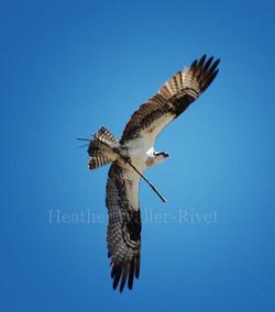 osprey2thumb.jpg