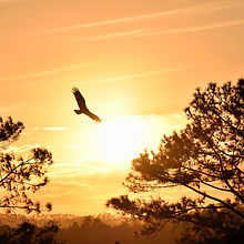 hawk-sunset-trees-sky.jpg
