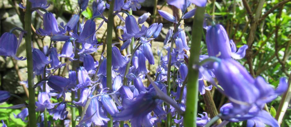 Some Scottish Bluebells
