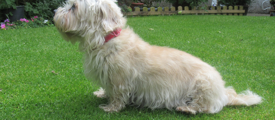 What use is a Dandie Dinmont Terrier?