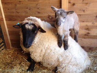 Lambing has started