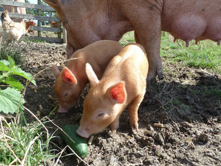 Melody Has Her Piglets