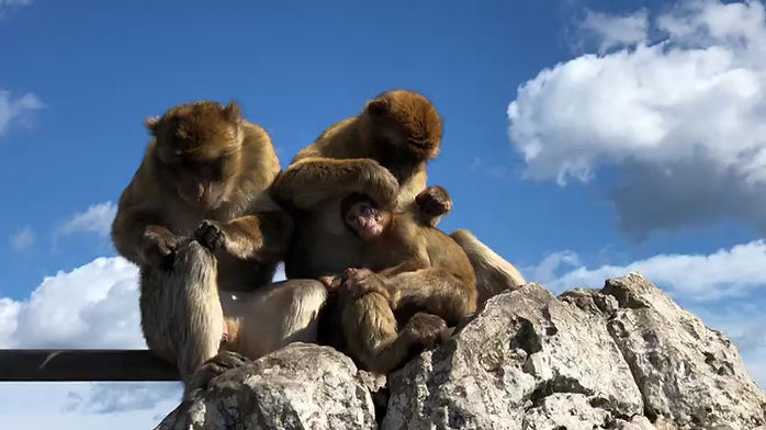 A family of barbary macaques grooming