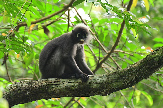 Trachypithecus obscurus obscurus