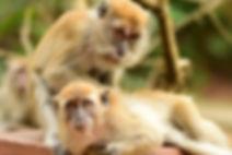 Macaca fascicularis fascicularis