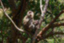 Macaca fascicularis condorensis