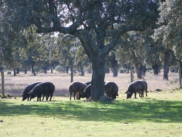 Gestión de cerdos ibéricos de bellota: selección genética, seguimiento de lechones hasta engorde en Montanera y su posterior comercialización, así como la selección de fincas para montanera