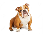 43621291-un-adorable-bulldog-inglés-sent