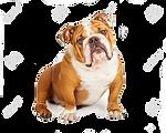 43621291-un-adorable-bulldog-inglés-sent
