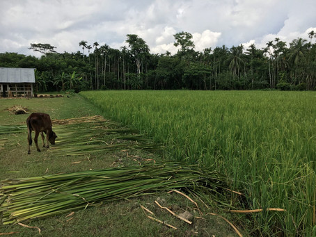 Feed the Future activity promotes new rice seed variety in Bangladesh