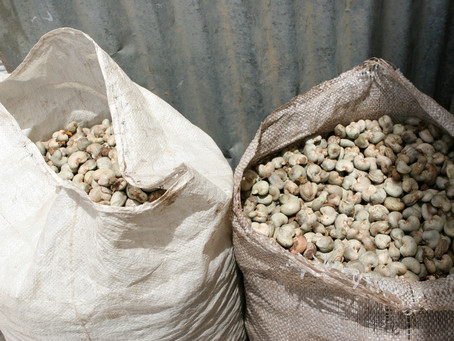 Oikocredit invests in cashew cooperative, supporting nearly 5,000 farmers in Côte d'Ivoire