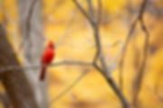 cardinal, nothern cardinal, bird, fall, autumn, nature, photography, ohio