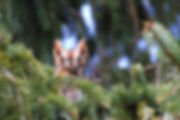 owl, screech owl, bird, nature, pine tree, photography, ohio