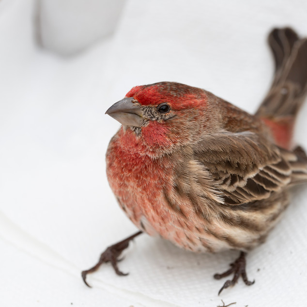This house finch flew into our living room window just before I was to leave for my February 2020 visit to the sanctuary. He lay on his back, breathing but beyond disoriented, and we feared he'd broken his neck. After calling the OBS for their opinion and advice, I carefully placed him in a shoebox and transported him to Mansfield with me. By then, he was up and about and recieved a clean bill of health. Often birds will get concussions from window encounters, and need an hour or so to recover. Since we arrived back home at night, we released him early the next morning to warn his friends of the strange, clear square by the feeder.