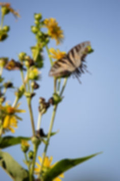 butterfly, swallowtail, eastern tiger swallowtail, flower, nature, photography, ohio