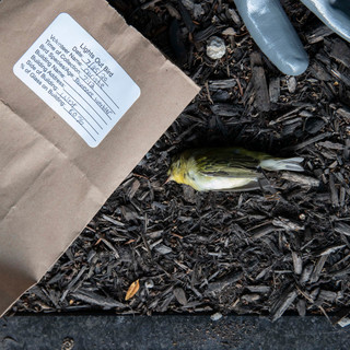 7:12am: the bags of both live and deceased birds are labeled with the date, volunteer name, time of collection, bird species, name of building struck/address of building struck, the side of the building (ex. West), and the percent of glass making up the building. This data allows analysts to keep track of which birds strike most often, the period of migration the species are passing through, and which buildings are most popular for strikes.