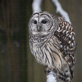 Apollo, Barred Owl