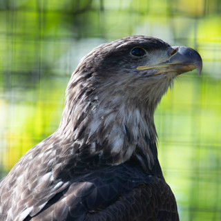A juvenile bald eagle released in the fall of 2019 after being successfully rehabbed