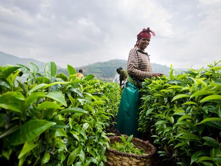 L'Afrique, horizon méconnu du thé (1/2)