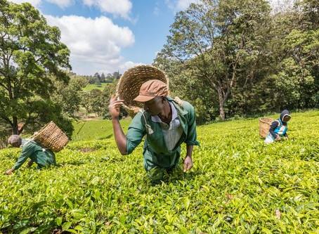 L'Afrique, horizon méconnu du thé (2/2)