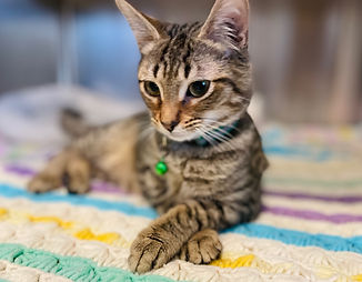 Basil the Cat from Animal Rescue Rhode Island - Tabby Cat