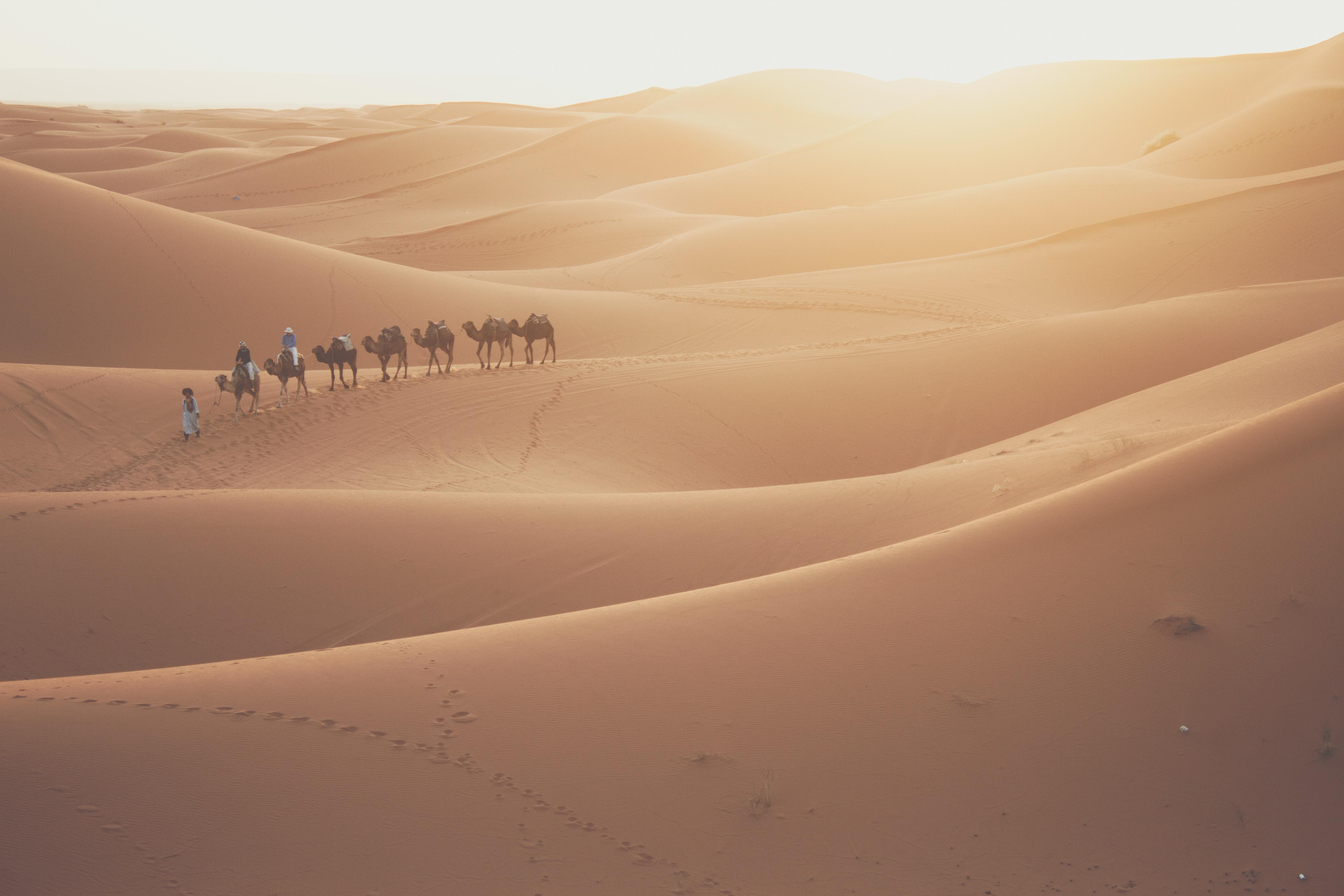 camels in dunes