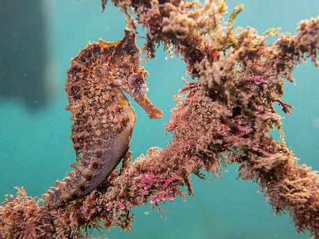 Whites seahorse.jpg