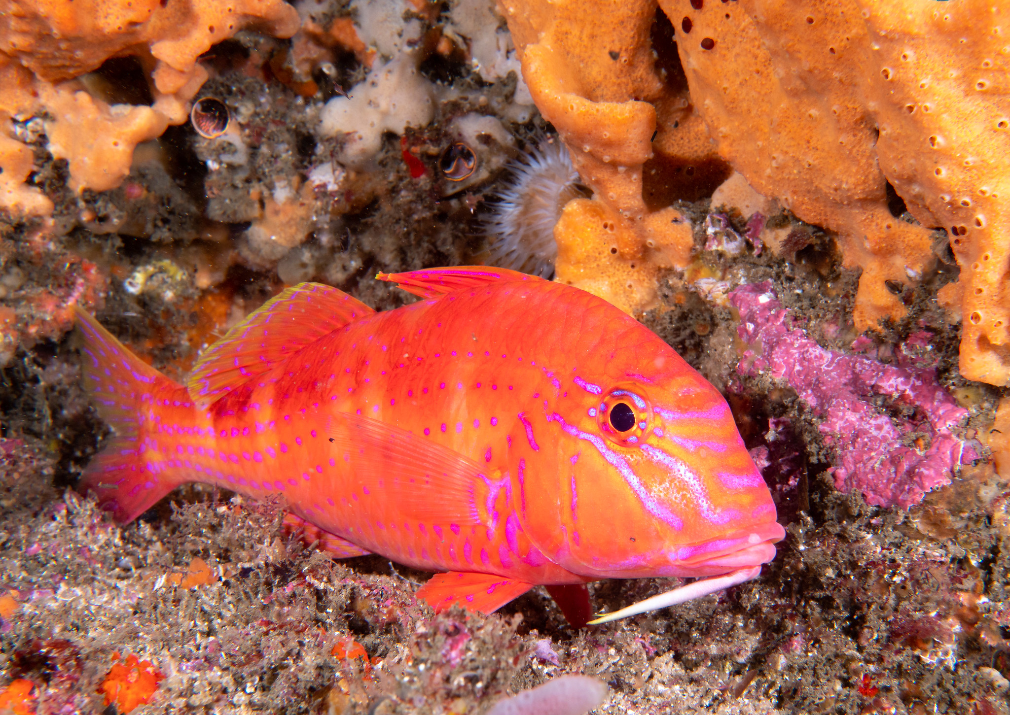 goatfish.jpg